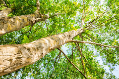 Tree from below. Lookup on old following tree trunk to the top Royalty Free Stock Photography