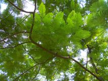 Tree from below. royalty free stock photography