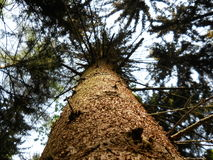 Tree from below. Tree viewed from below along tree trunk Royalty Free Stock Image