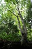 Tree bending upwards Royalty Free Stock Photo