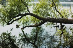 Tree bent to the river stock photography