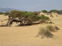 Tree bent by the wind. Tree of juniper bent by the wind in a sand beach of sardinia vector illustration