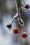 Tree berries covered in ice. Royalty Free Stock Photography