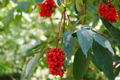 Tree with berry rowan Stock Images