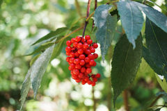 Tree with berry rowan Royalty Free Stock Images