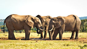 Tree is better then ONE - African Bush Elephant. Tree is better then ONE - The African bush elephant is the larger of the two species of African elephant. Both stock image