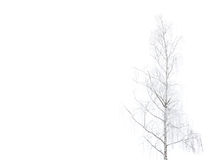 Tree Betula pendula Royalty Free Stock Image