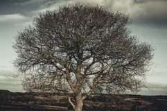Tree. Big tree on the field Royalty Free Stock Images