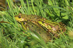 Tree big green frogs. (American Bullfrog) sitting in the grass Stock Photography