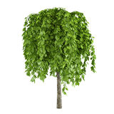 Tree with big leaves isolated Stock Photos