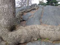 Tree with Big and Long Roots Growing on Rocks. Stock Photos