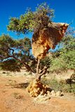 Tree with big nest of weaver birds colony Royalty Free Stock Image