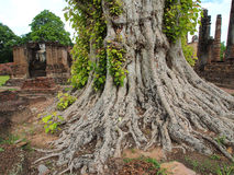 Tree big root in Temple. Sukhothai historical Temple of Thailand Stock Images