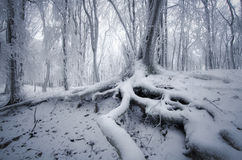 Tree with big roots in enchanted frozen forest in winter Royalty Free Stock Photos