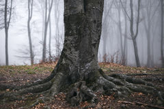 Tree with big roots in foggy forest. Dark scary forest like a fairy tale Royalty Free Stock Photography