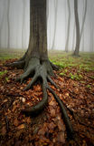 Tree with big roots in foggy forest Stock Photo