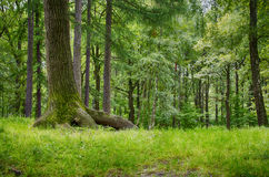 Tree with big roots. In the forest Stock Photo