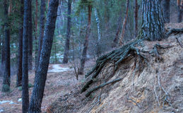 Tree with big roots on forest soil Royalty Free Stock Photography