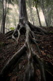 Tree with big roots in a forest in summer after rain Royalty Free Stock Photos