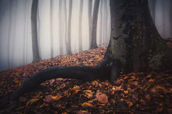 Tree with big roots in mysterious autumn with fog Stock Photography
