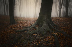 Tree with big roots in mysterious forest with fog Royalty Free Stock Photography