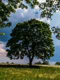 Tree. Big tree in summer time Royalty Free Stock Images