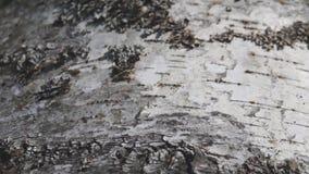 Tree birch, bark close up stock video