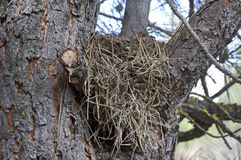 Tree With Bird Nest In Branches Royalty Free Stock Photos