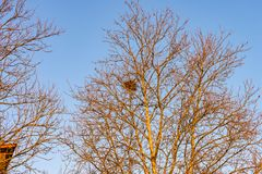 Tree with a bird`s nest in the crown stock images
