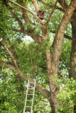 Tree with birdhouse and ladder in the forest Royalty Free Stock Photography