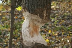 Tree bitten. By beavers Stock Photography
