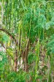 Tree of the Bitter cucumber-chinese Stock Image