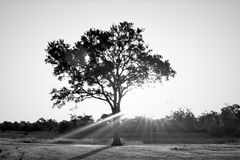 Tree, Black And White, Black, Woody Plant Royalty Free Stock Image