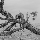 Tree, Black And White, Monochrome Photography, Driftwood Stock Images