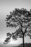 Tree :Black and white Royalty Free Stock Photo