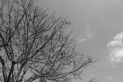 Tree in black and white tone. A part of tree in black and white tone with cloudy sky background royalty free stock images