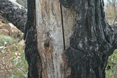 Scorched bark of tree after fire. Tree with blackened scorched bark and exposed area of trunk after a fire Stock Images