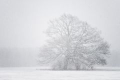 Tree in a blizzard. Old tree out of focus in a blizzard with snow flakes in the foreground royalty free stock photography