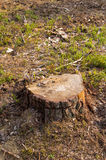 Tree block in forest. Felled tree in the forest Royalty Free Stock Image