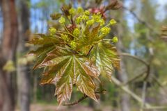 Tree bloom of acer with blured background.  royalty free stock images
