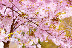 Tree in bloom Royalty Free Stock Image