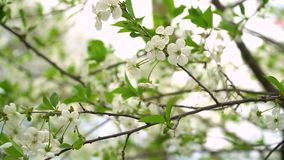 Tree in bloom. Beautiful white flowery fruit tree under a blue sky in spring. Cherry blossoms. Beautiful white flowery fruit tree under a blue sky in spring stock video footage