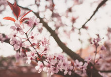Tree in bloom Royalty Free Stock Photo