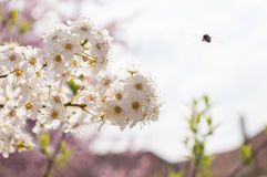 Tree in bloom Royalty Free Stock Images