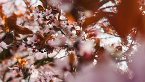 Tree in bloom Royalty Free Stock Photography