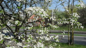 Tree bloom car road. Blooming fruit tree branches closeup in spring and cars going on asphalt road in background stock footage