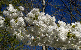 Tree in Bloom. Flowering Tree in Spring in the Pacific Northwest Royalty Free Stock Photo