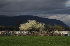 A tree in bloom with grass in the foreground. And a community garden, mountains and a dark cloudy sky in the background Royalty Free Stock Photo