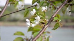 Tree in bloom Lake. Lakeside blossomed cherry tree, cherry tree wind shaken flower stock video