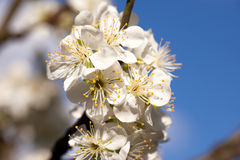 A tree in bloom, Stock Image